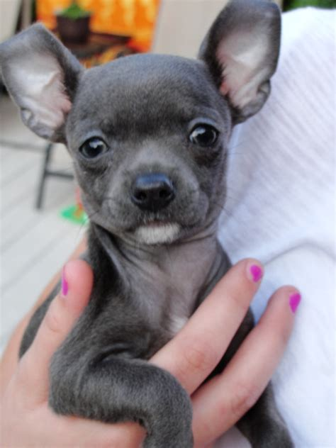 Blue Chihuahua   All I've Got is a Photograph