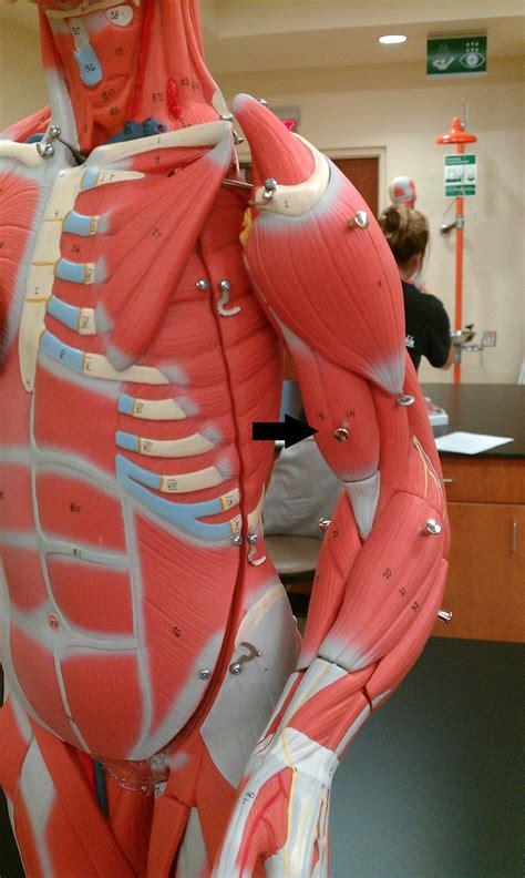 Lab: Ch 10: Muscles of the Arm - Anatomy & Physiology 205